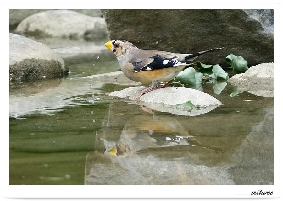 서울의 새들 - 밀화부리