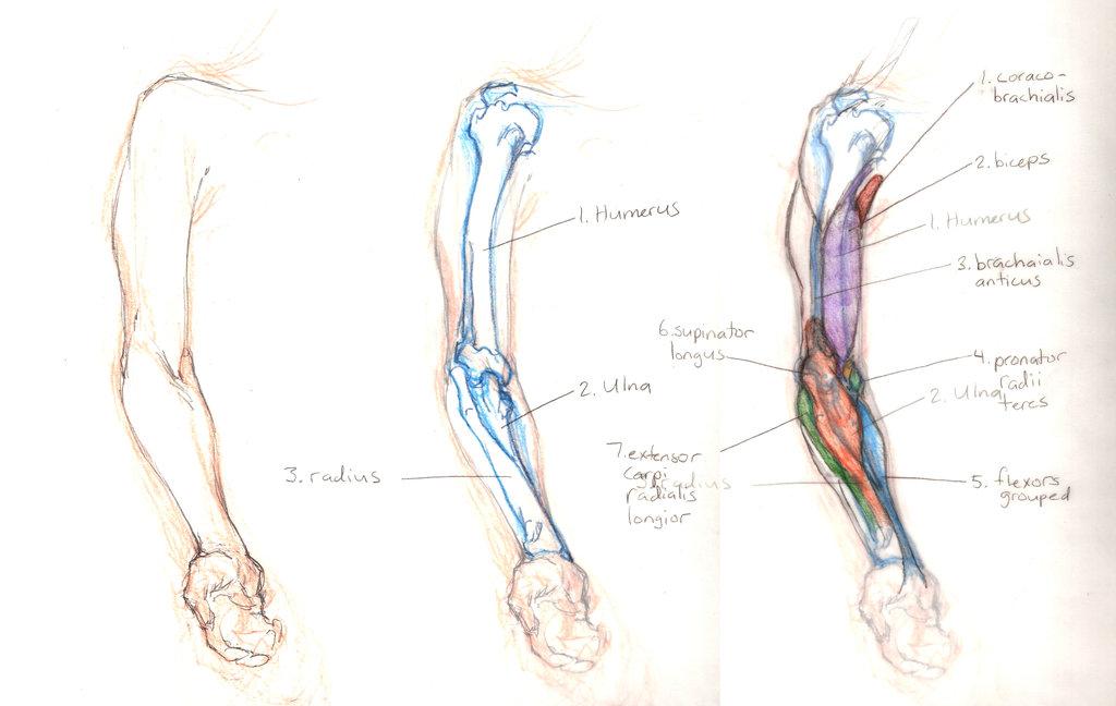 Human Arm Anato... Human Arms