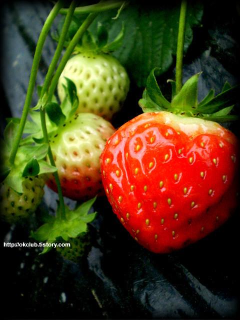 하트 딸기