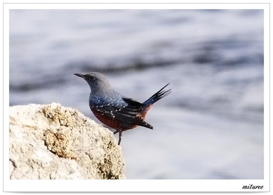 포항의 새들 - 바다직박구리