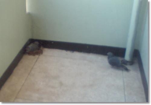 복도에서 있던 비둘기
