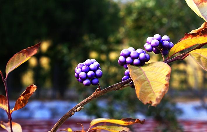 작살나무 열매